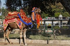 A camel ride in Udaipur, Rajasthan, India. A camel all dressed up to take you for a ride in Udaipur, Rajasthan, India stock image