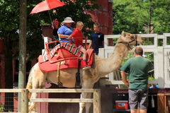 Camel ride, with young boy mounting for a ride around enclosure, Cleveland Zoo, 2016. Attraction of large camel getting prepared to take youngster around stock image