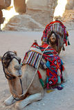 Camel Rides Royalty Free Stock Photo
