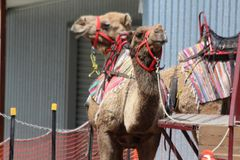 Camel Rides. Are a very popular passtime. They are popular for children and adults at the show, fete, or many functions.  They are a good way of earning money Royalty Free Stock Photo