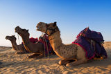 Camel for riding activity in India Royalty Free Stock Photography