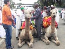 Camel riding in Africa. Preparation  to mount  on camel   Nairobi Kenya during a fun day Royalty Free Stock Photo