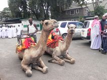 Camel riding in Africa. Preparation  to mount  on camel   Nairobi Kenya during a fun day Royalty Free Stock Photography