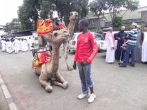 Camel riding in Africa. Preparation  to mount  on camel   Nairobi Kenya during a fun day Stock Photography