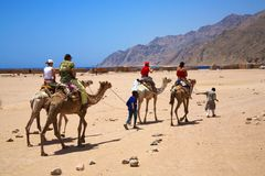 Camel riding excursion, Egypt. Camel riding excursion, Ras Abu Galum, Egypt Stock Photos