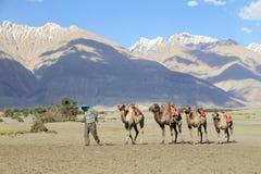 Camel riding at Hunder village in Himalayas, Nubra Valley, Ladak Stock Image