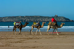 Camel riding in Morocco Royalty Free Stock Photo