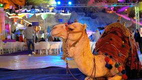 The Camel for Riding Tourists Sits at Night on the Old Market street. Egypt. Sharm el Sheikh. Close-up of a muzzle camel. Egypt, Sharm el Sheikh stock footage