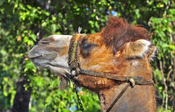 Camel riding royalty free stock photography