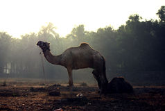 Camel rise and shine Stock Image