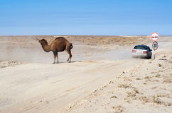 Camel on road Stock Image