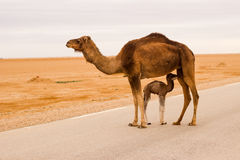 Camel in road Royalty Free Stock Image