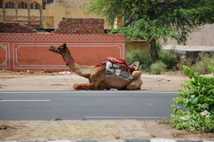 Camel on the road. In Jaipur, India Stock Image
