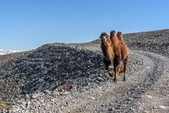 Camel road mountains graze. A beautiful brown camel walks along the gravel road in the mountains in autumn Stock Photography