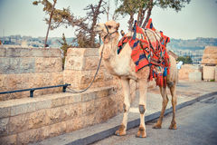 Camel on the road near Old City of Jerusalem. Camel tied to the curb side of the road in the Old City of Jerusalem Royalty Free Stock Photos