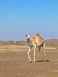 Camel in the Rock desert. Mountains of Oman in the background Stock Image