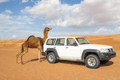 Camel rubs against a car Stock Photo