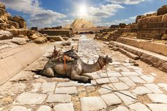 A camel in the ruins of Giza temple, Egypt stock photography