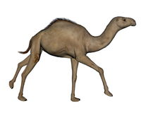 Camel running - 3D render Stock Image