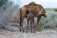 Camel's Breastfeeding Royalty Free Stock Photography