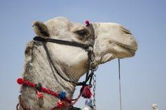 Camel's eye Royalty Free Stock Image