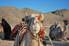 Camel`s face in bedouin village. Photo of the face of camel who lies in the bedouin village Royalty Free Stock Image