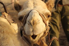 Camel's face Stock Photography