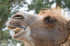 Camel's Head. The head of a camel looking very intelligent Stock Images