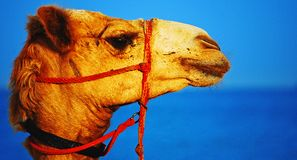Camel's Head Royalty Free Stock Image