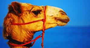 Camel's Head Royalty Free Stock Image
