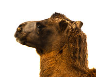 Camel's head. Bactrian Camel's head against a white background Royalty Free Stock Photo