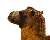 Camel's head Royalty Free Stock Photo