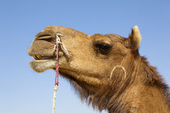 Camel's head. Side profile of a camel's head with blue sky background Royalty Free Stock Photography
