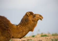 Camel's head Stock Photography