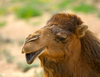 Camel's head Stock Photo