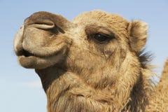 Camel's Head Against Sky. Closeup of a camel's head against the blue sky Royalty Free Stock Photo