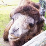 Camel`s head in close up. Square image Stock Image
