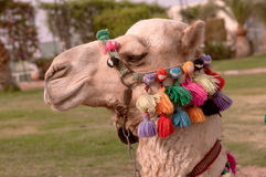 Camel's head. With the colorful bridge Stock Photography
