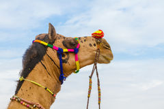 Camel`s head. The head of a decorated camel at the Bikaner camel festival Royalty Free Stock Photography