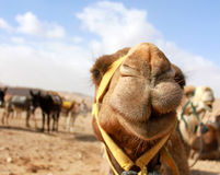 Camel's head in the desert with funny expression. Detail of camel's head in the desert with funny expression Stock Images