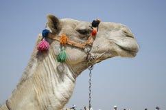 Camel's head. Head of an egyptian camel Stock Photography