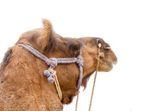 Camel`s head. The face of a camel at the Bikaner camel festival Royalty Free Stock Photos