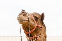 Camel`s head. The face of a camel at the Bikaner camel festival Stock Photo