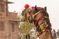 Camel`s head. The face of a camel at the Bikaner camel festival Royalty Free Stock Photo