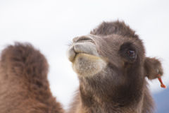 Camel's head with hump. In the desert Royalty Free Stock Photo