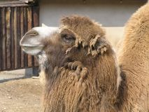 The camel`s head in profile. Camel living in the Moscow zoo during the spring molting is the change of the winter coat in summer Royalty Free Stock Photo