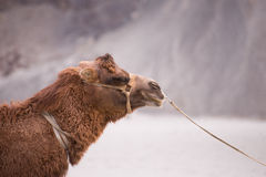 Camel's head. With rope use to ride Royalty Free Stock Photo