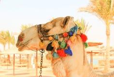Camel's Head. Royalty Free Stock Photos
