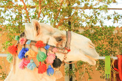 Camel's Head. White lonely domestic Camel. Face of Camel Royalty Free Stock Photography