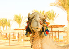 Camel's Head. White lonely domestic Camel. Face of Camel Royalty Free Stock Photos